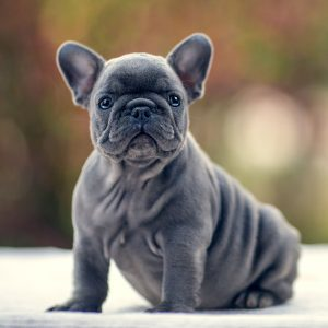 blue-french-bulldog-for-sale-s01
