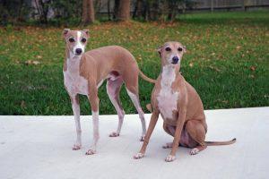 italiangreyhound3
