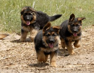 german-shepherd-puppies_7