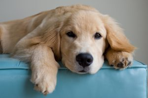 A golden retriever puppy puts his head down for a rest.