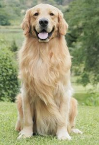 goldenretrieversf1