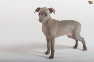 owning-an-italian-greyhound-53b695cfdfaec