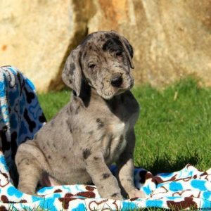 great-dane-puppies-for-sale-600x600